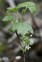 Currant, Northern Wild Black (Ribes hudsonianum)