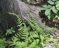 Bulblet Fern (Cystopteris bulbifera)