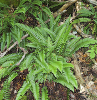 Christmas Fern (Polystichum acrostichoides)