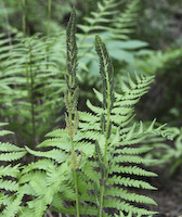 Cinnamon Fern (Osmunda cinnamomea)