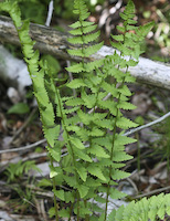 Crested Shield Fern (Dryopteris cristata)