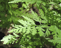 Fragile Fern (Cystopteris fragilis)